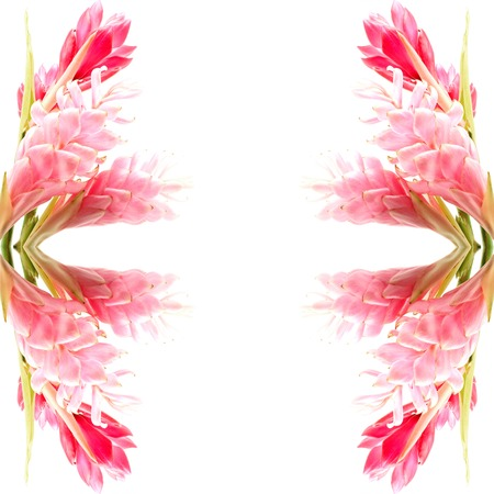 alpinia: Colorful flower, Pink and Red Ginger or Ostrich Plume (Alpinia purpurata), isolated on a white background Stock Photo
