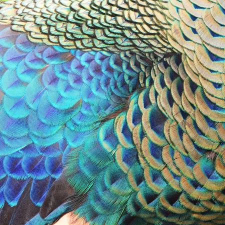 Beautiful Green Peacock feathers, texture abstract background Stock Photo
