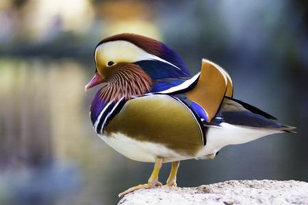 aix galericulata: Beautiful male duck, Mandarin Duck (Aix galericulata)