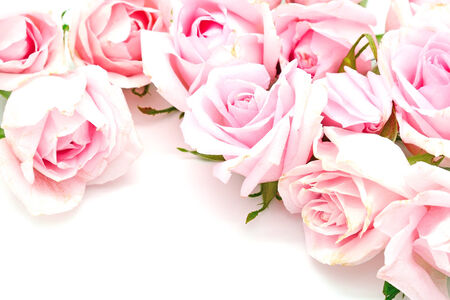 roses  petals: Beautiful pink rose isolated on white background