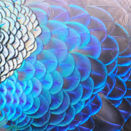 Beautiful Green Peacock feathers, texture abstract background 版權商用圖片
