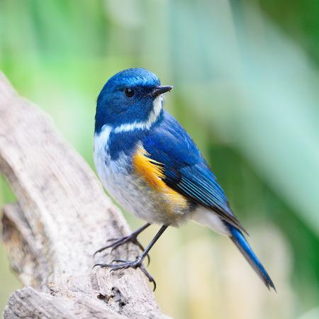 Oiseau bleu, mâle bleu de l'Himalaya (Tarsiger rufilatus), debout sur la bûche, la poitrine et le profil latéral Banque d'images - 35168256