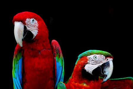 arlecchino: Bello pappagallo, Greenwinged Ara e Arlecchino Ara in profilo ritratto