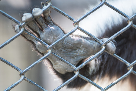 cage gorilla: Monkey hand animal, out from the cage of zoo