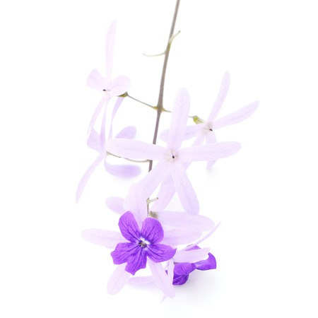 petrea: Purple vine flower, Sandpaper Vine or Purple Wreath (Petrea volubilis. Linn.),  isolated on white background