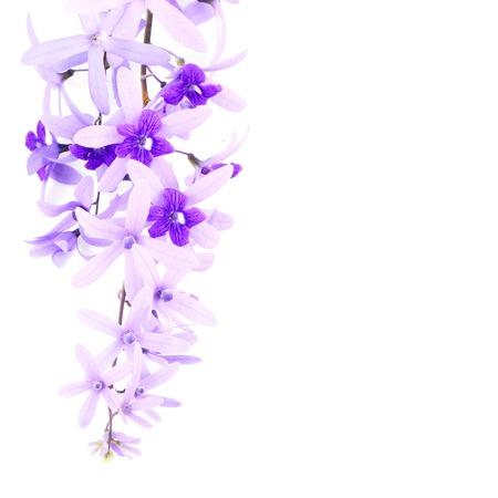 petrea volubilis: Purple vine flower, Sandpaper Vine or Purple Wreath (Petrea volubilis. Linn.),  isolated on white background