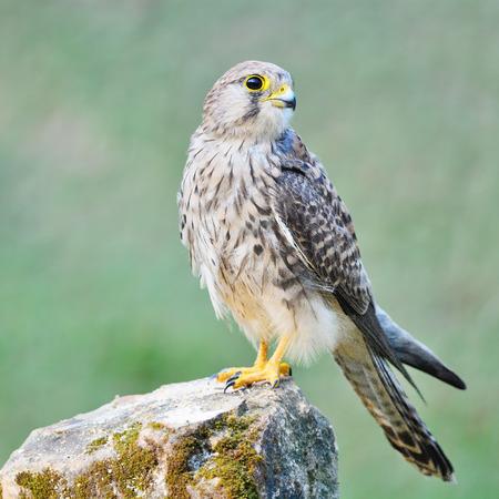 falco: Beautiful female Common Kestrel (Falco tinnunculus), standing on the rock Stock Photo