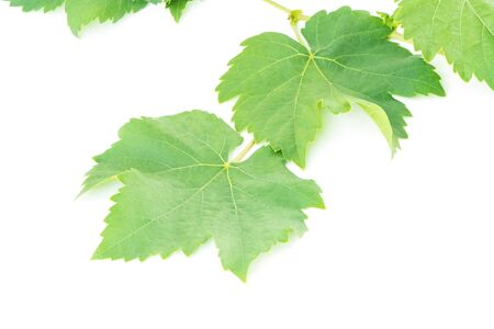gape: Fresh green gape leaf, isolated on white background Stock Photo