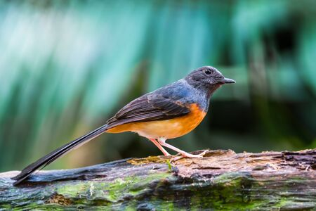 song bird: Beautiful song bird, juvenile male White-rumped Shama (Copsychus malabaricus), standing on the log, side profile