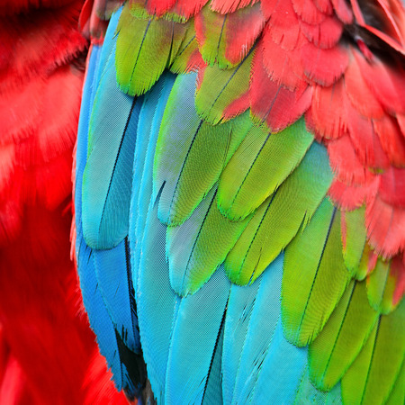 Beautiful background of Greenwinged Macaw feathers pattern