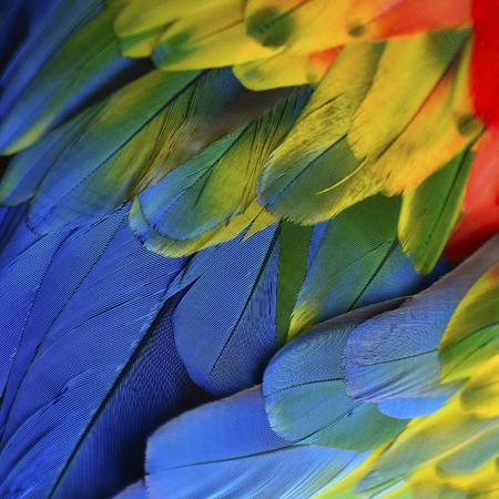 scarlet: Beautiful nature background texture of Scarlet Macaw feathers pattern