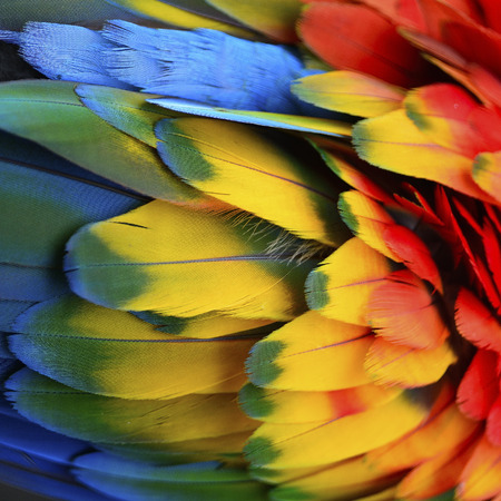 nature pattern: Beautiful nature background texture of Scarlet Macaw feathers pattern