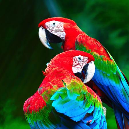 loro: Loro hermoso pájaro, Greenwinged Macaw, de pie en el registro, el perfil de nuevo Foto de archivo