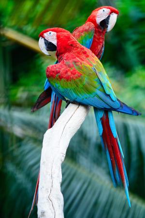 cotorra: Loro hermoso pájaro, Greenwinged Macaw, de pie en el registro, el perfil de nuevo Foto de archivo