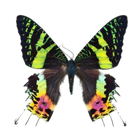 Beautiful multicolored butterfly Sunset Moth Urania ripheus Madagascar isolated on white background