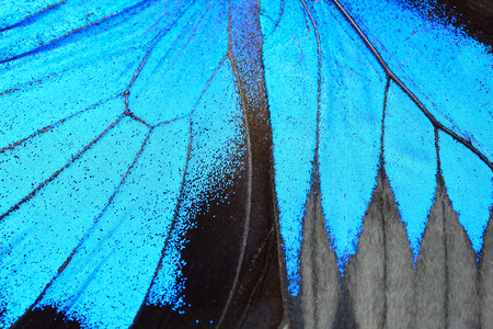 Blue butterfly wing, nature pattern texture background