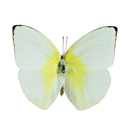 Yellow and white butterfly, Lemon Emigrant butterfly, (Catopsilia pomona), isolated on white background