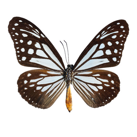 tawny: Blue and brown butterfly,Tawny Mime butterfly, isolate on white background