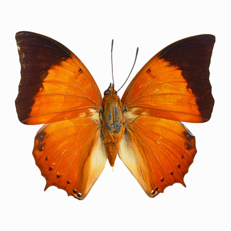 rajah: Orange butterfly, Common Tawny Rajah (Charaxes bemardus), isolated on white background Stock Photo