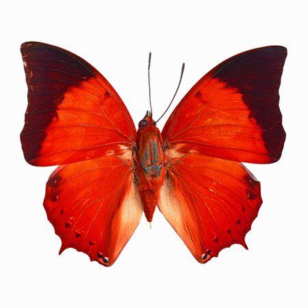 rajah: Mariposa roja, Common Tawny Rajah (Charaxes bemardus) en el perfil de color de fantas�a, aislado en fondo blanco