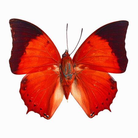 rajah: Red butterfly, Common Tawny Rajah (Charaxes bemardus) in fancy color profile, isolated on white background Stock Photo