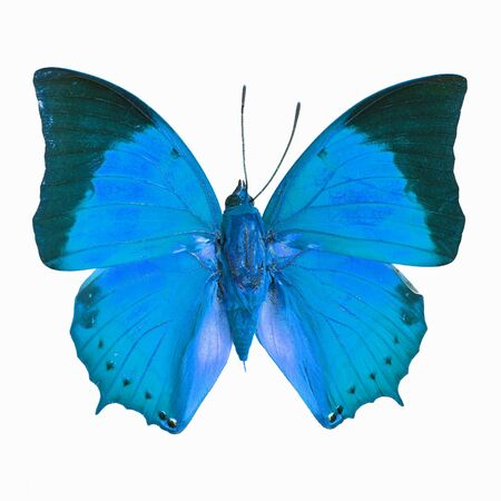 tawny: Blue butterfly, Common Tawny Rajah (Charaxes bemardus) in fancy color profile, isolated on white background