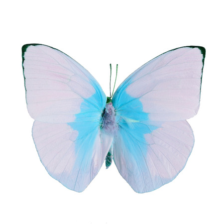 emigrant: Pink and blue butterfly, Lemon Emigrant butterfly, (Catopsilia pomona) in fancy color profile, isolated on white background