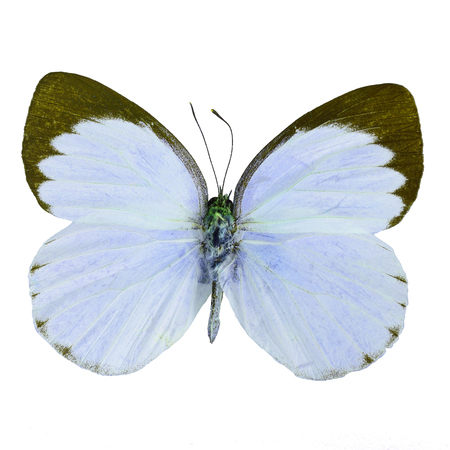 Blue butterfly, Delias butterfly (Delias belisama) in fancy color profile, isolated on white background Stock Photo