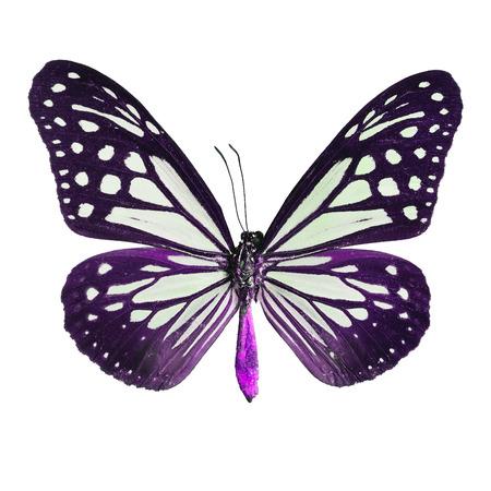 mimo: mariposa púrpura, rojizo Mime mariposa en el perfil de lujo del color, aislante en el fondo blanco Foto de archivo