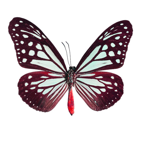 tawny: Brown butterfly,Tawny Mime butterfly in fancy color profile, isolate on white background