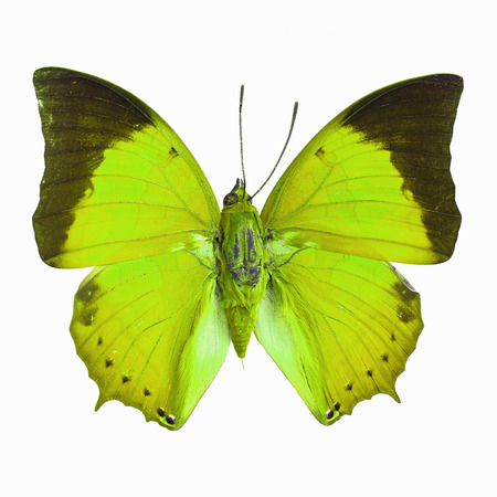 rajah: Green butterfly, Common Tawny Rajah (Charaxes bemardus) in fancy color profile, isolated on white background Stock Photo