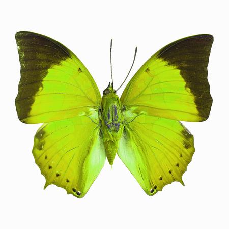 rajah: Mariposa verde, Common Tawny Rajah (Charaxes bemardus) en el perfil de color de fantas�a, aislado en fondo blanco