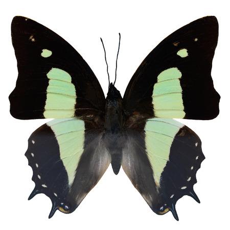 papillon: Papillon commun Nawab, (polyura Athama), le profil de l'aile sup�rieure, isol� sur fond blanc