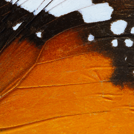 color butterfly: Nature texture, derived from orange butterfly wing background Stock Photo