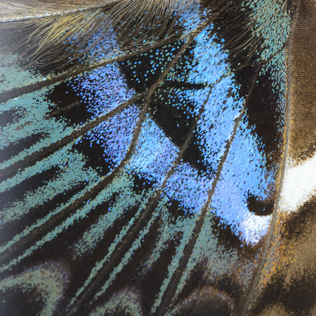 color butterfly: Nature texture, derived from blue butterfly wing background Stock Photo