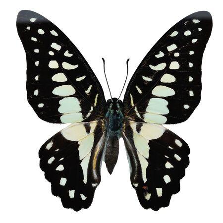 green jay: mariposa verde y negro, com�n Jay mariposa (Graphium Doson), perfil superior del ala, aislado en fondo blanco