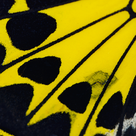 color butterfly: Nature texture, derived from yellow butterfly wing background Stock Photo