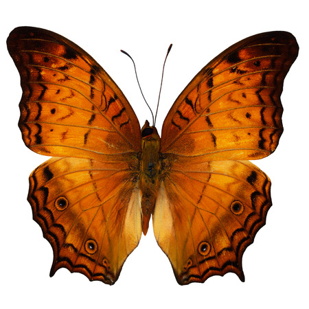 cruiser: Orange butterfly, Common Cruiser butterfly (Vindula erota), upper wing profile, isolate on white background