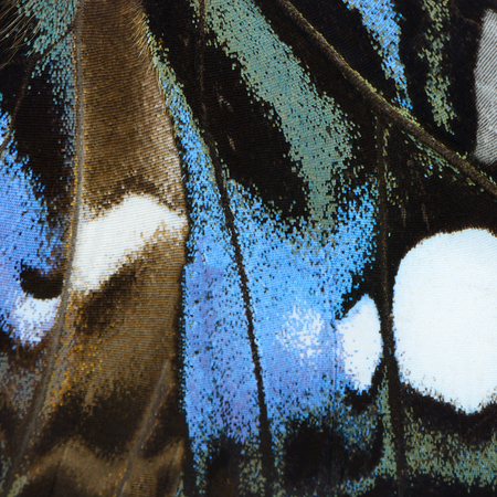 butterfly wings: Nature texture, derived from blue butterfly wing background Stock Photo