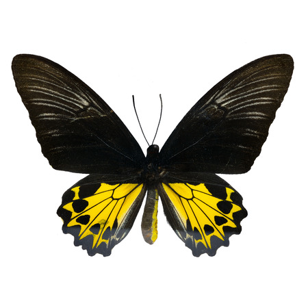 rajah: Butterfly of Malaysia, yellow and black butterfly, female Rajah Brookes Birdwing, Rajah Brookiana (Trogonoptera brookiana), upper wing profile
