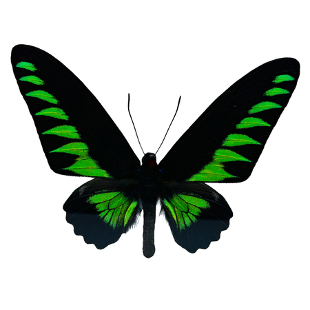 rajah: Butterfly of Malaysia, green and black butterfly, male Rajah Brookes Birdwing, Rajah Brookiana (Trogonoptera brookiana), upper wing profile