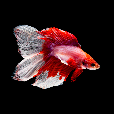 black fish: Red and white siamese fighting fish, betta fish, two tail profile, on black background