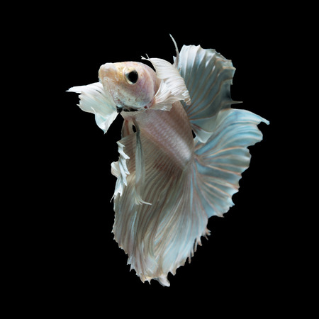 animal fight: White siamese fighting fish, betta fish, big ear profile, on black background