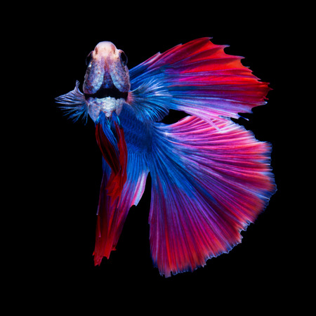 pelea: Rojo y azul peces luchadores siameses, pez Betta, medio perfil cola luna, sobre fondo negro