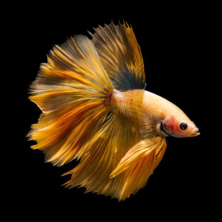 half moon tail: Orange siamese fighting fish, betta fish, half moon tail profile, on black background