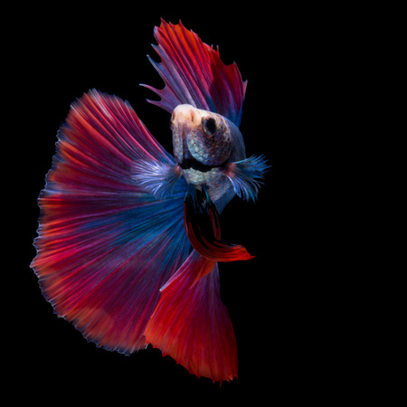 blue fish: Red and blue siamese fighting fish, betta fish, half moon tail profile, on black background