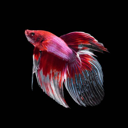 butterfly tail: Red siamese fighting fish, betta fish, butterfly tail profile, on black background