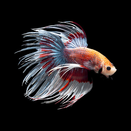 crown tail: Fancy siamese fighting fish, betta fish, crown tail profile, on black background