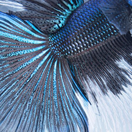 blue siamese: Abstract nature pattern, blue Siamese fighting fish, Betta Splendens, skin and scale profile Stock Photo