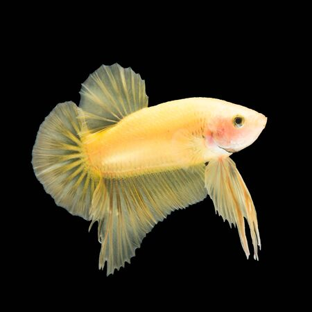 moon fish: Yellow siamese fighting fish, betta fish, half moon plakat tail profile, on black background